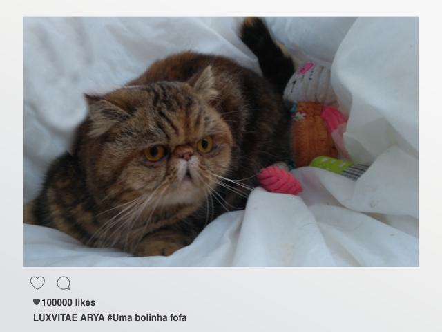 gato da raça exótico